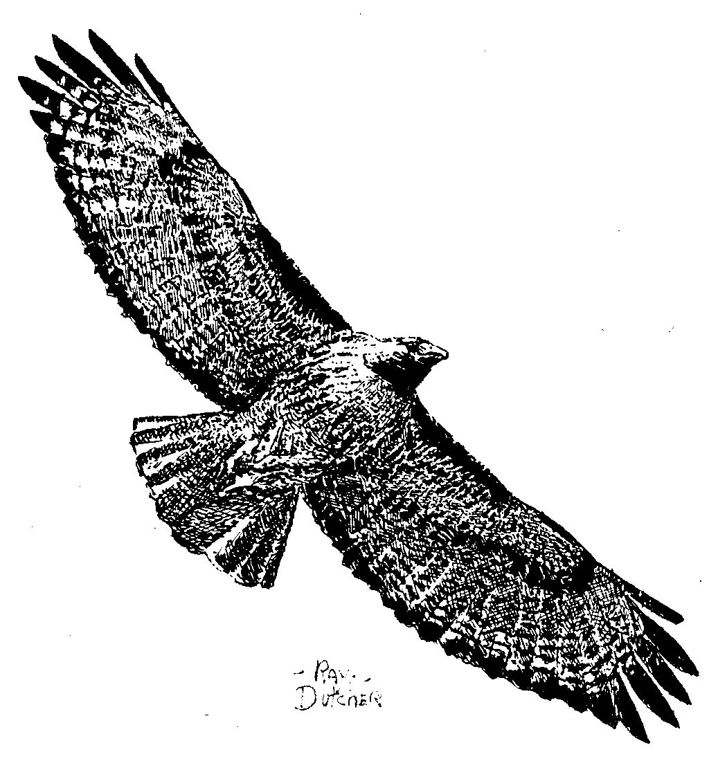 drawing of a Red-tailed Hawk